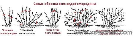 схема обрезки смородины_shema obrezki smorodini