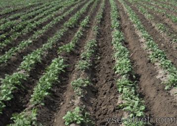 okuchivanie kartofelya
