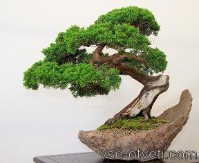 bonsai_бонсай